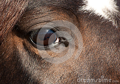 Eye of a dark bay Arabian horse