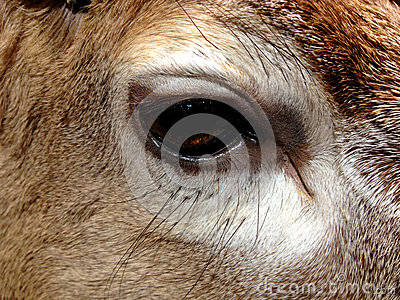 Eye of deer/reindeer