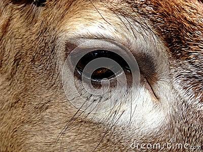 Eye of deer/reindeer