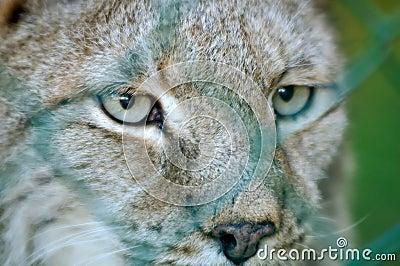 Eye of a lynx