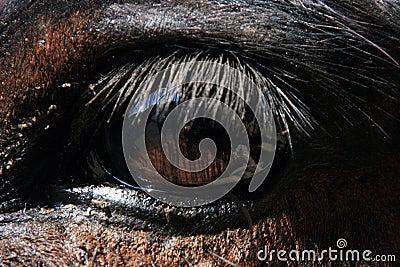 Eye of a Mule