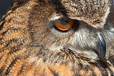 Eye of owl