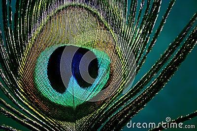 Eye of peacock - detail