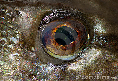 Eye of pike