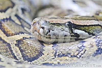 Eye of snake