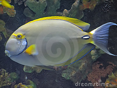eye stripe surgeonfish