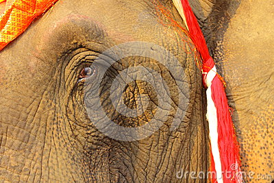 Eye and wrinkle,face of elephant