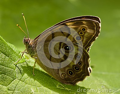 Eyed Brown Butterfly sitting on a leaf.