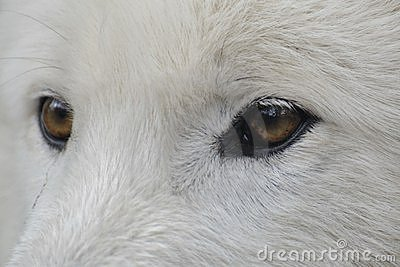 Eyes of a Arctic wolf ( canis lupus arctos )