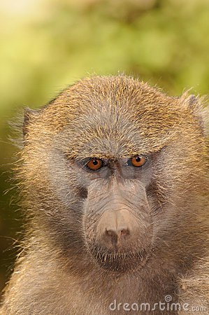 The Eyes of the Baboon