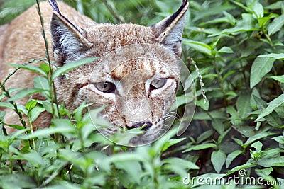 Eyes like a lynx