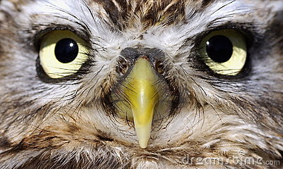 The eyes of a owl