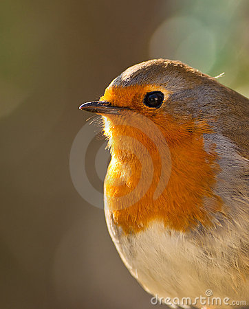 The eyes of the Robin