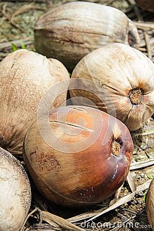 Fällige Kokosnüsse