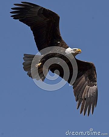 Fälliger kahler Adler
