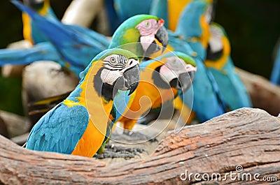 Färgrika Macaws i naturen