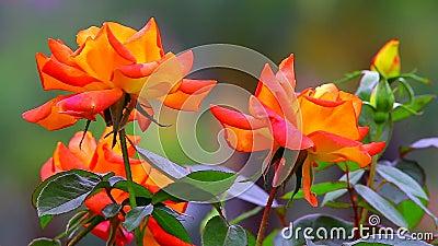 Färgrika orange tropiska rosor