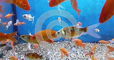 Färgstarka tropiska fiskar i akvariet med blått vatten och verklig miljö, med långsam rörelse stock video