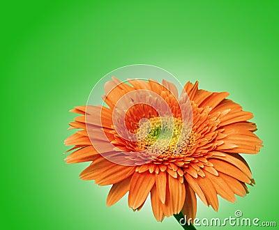 Fästande ihop isolerad bana för blomma gerbera