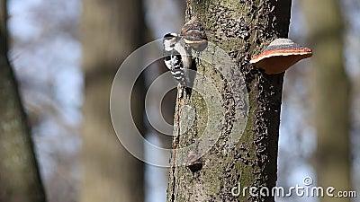 Fågel mindre prickig hackspett/Dryobates minderårig, Picoidesminderårig, mindre Dendrocopos stock video