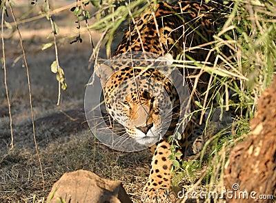 Förfölja för jaguar