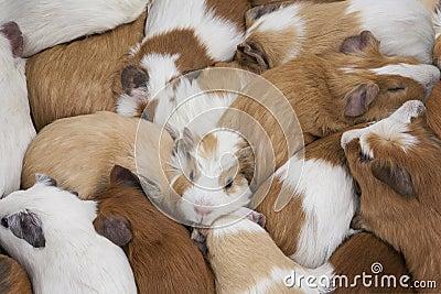 Försökskaniner (Caviaporcellus) - Ecuador