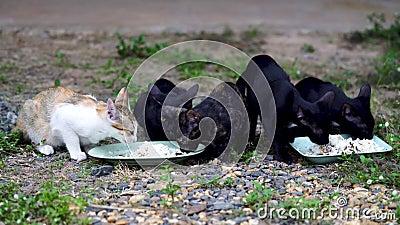 Fünf thailändische Katzen essen Nahrung stock video footage