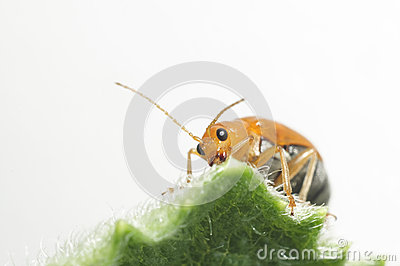Fütterungsnährstoff des orange Insekts auf grünem Blatt.