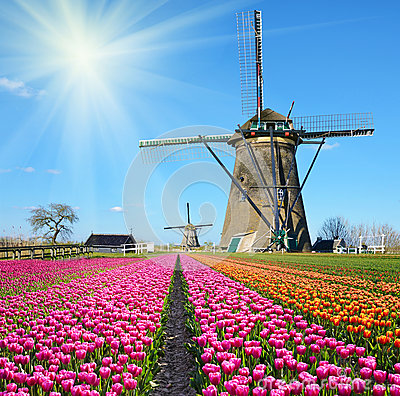 Free Fabulous Landscape Of Mill Wind And Tulips In Holland On A Sunny Stock Photos - 61029473