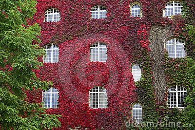 Facade of old house with red ivy