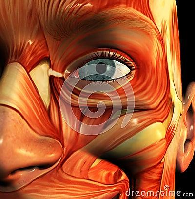 Face 5 do músculo