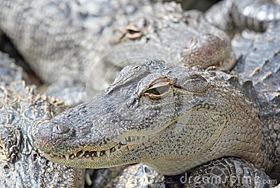 Face of alligator