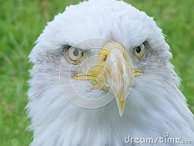 Face of a bald eagle