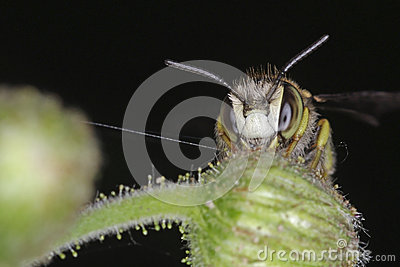 The face of bee