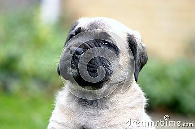 Face of the English Mastiff