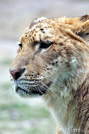 Face of a female Lion