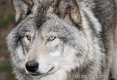 Face of gray wolf
