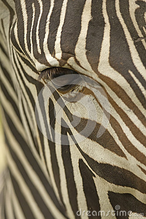Face of a Grevy s zebra close up