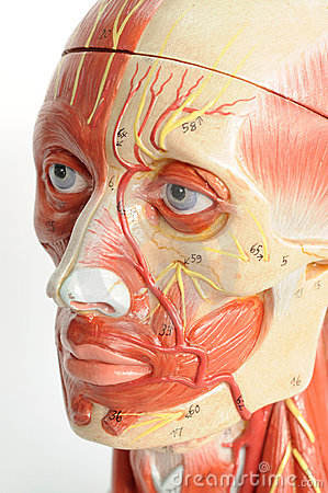 Face human anatomy