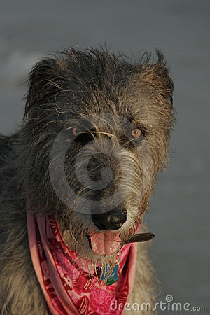 Face of an Irish wolfhound