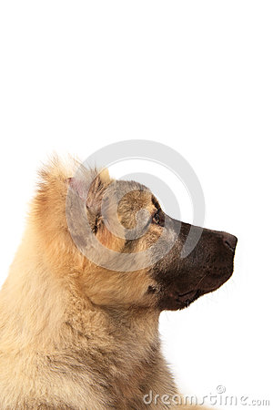 Face of mountain dog on white background