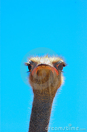 Free Face Of Ostrich Stock Photography - 1997742