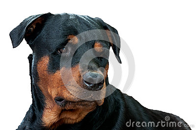 Face of rottweiler