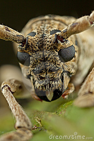 Face of the small Long-horned beetle