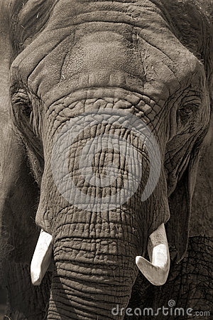 Face to Face African Elephant Portrait