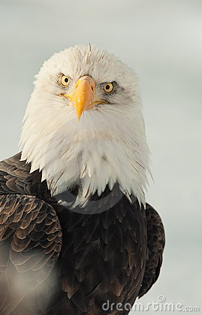 Face-to-face portrait of an eagle
