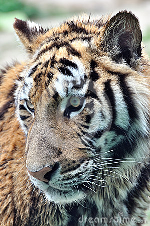 Face of an underage tiger