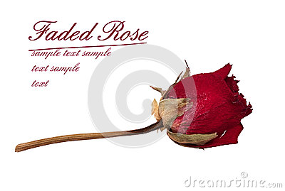 Faded rose - time passes metaphor