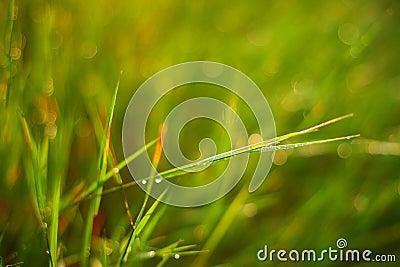 Faerie lights grass
