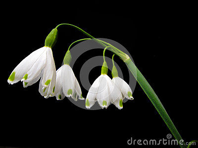 Fairy flower in white with green spots